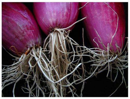 Torpedo_onions