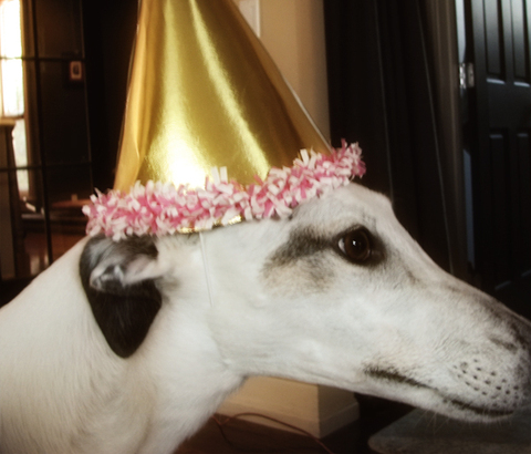 Petra the greyhound wearing a party hat