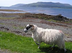 Sheep_sm